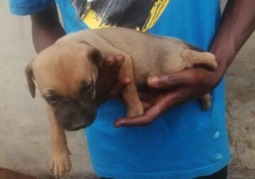 1 month and 1 week Male and female Boerboel